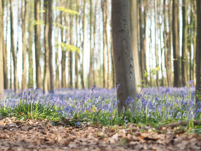 forêt d'Hallerbos